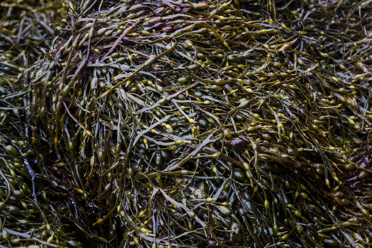 Seaweed Loch Long